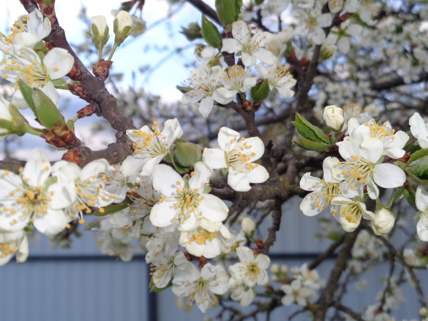 отличает фото цветущей ветки сливы мог прогулять уроки