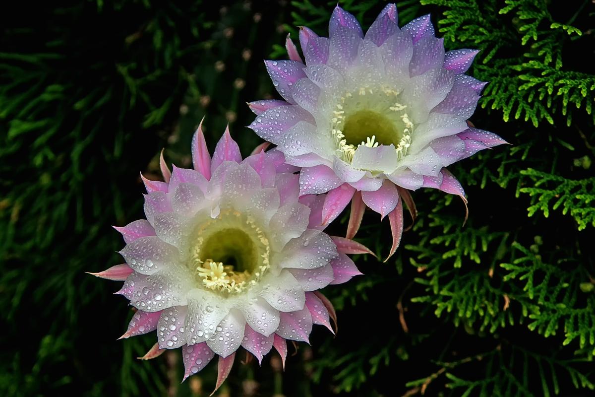Как цветут кактусы фото