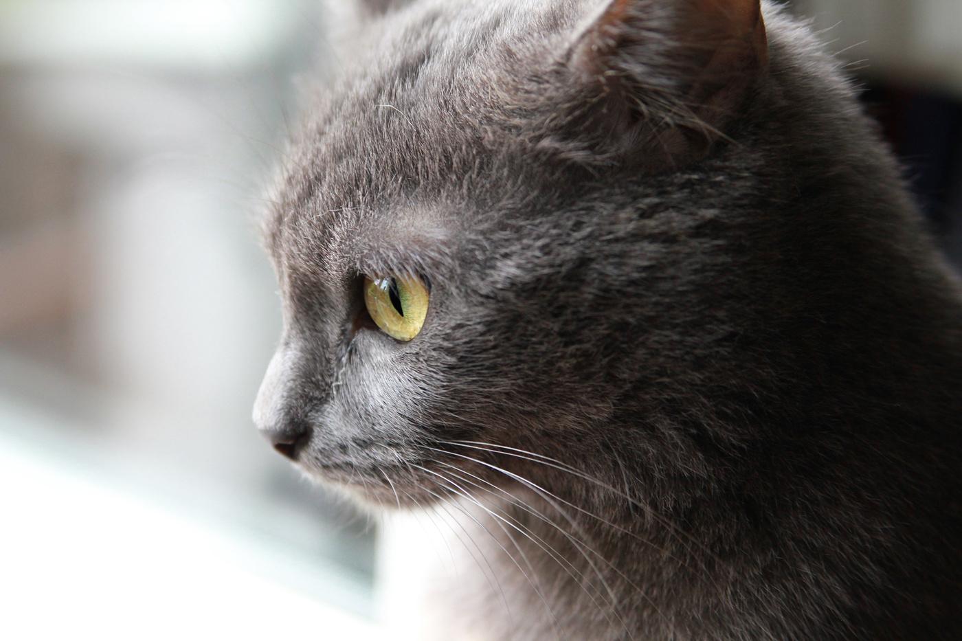 Фото серой кошки с желтыми глазами