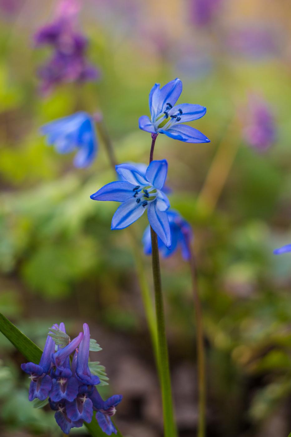 Картинки цветка пролеска сибирская
