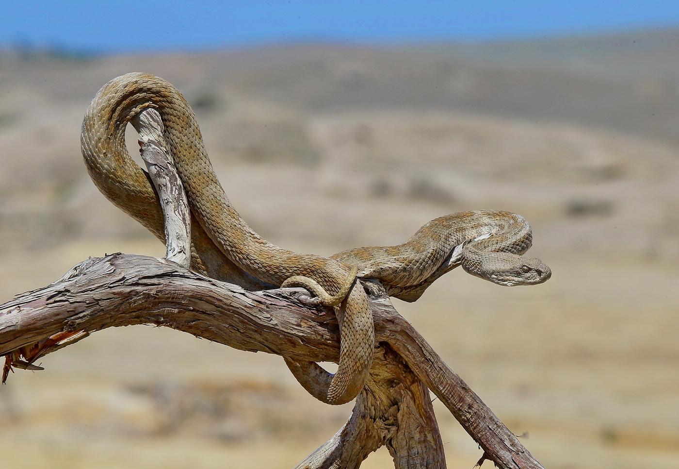 гюрза змея фото вот