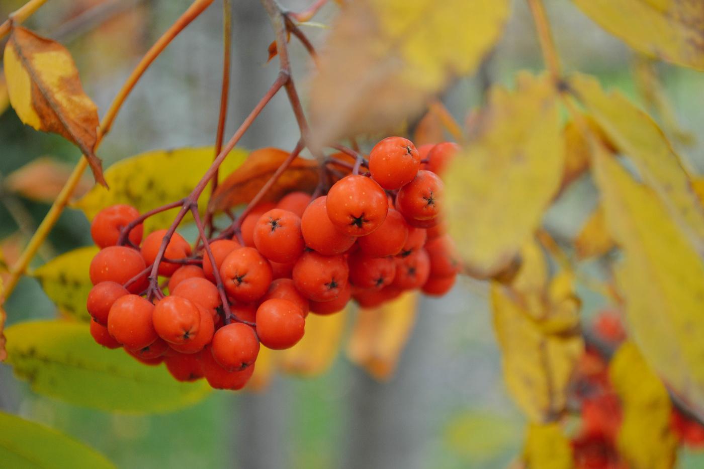 говорил картинки осенняя листва рябина красивые обои