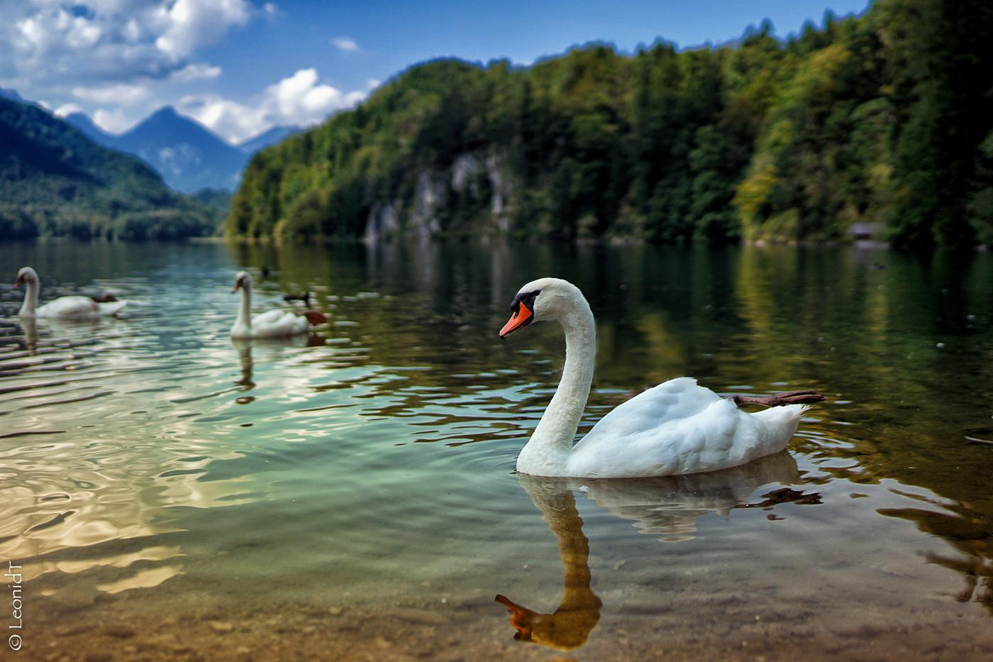 этот картинки с лебедями на природе рабочий стол сегодня спокойны