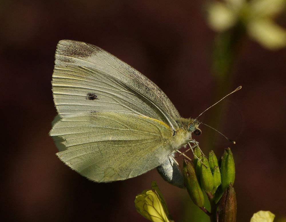 Бабочка капустница картинка