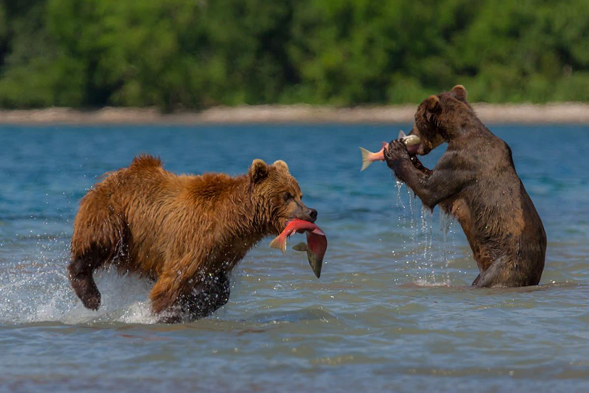 Картинки медведь с рыбой камчатка