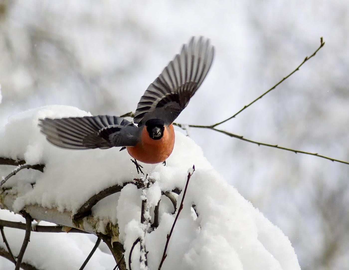 Летящий снегирь картинки