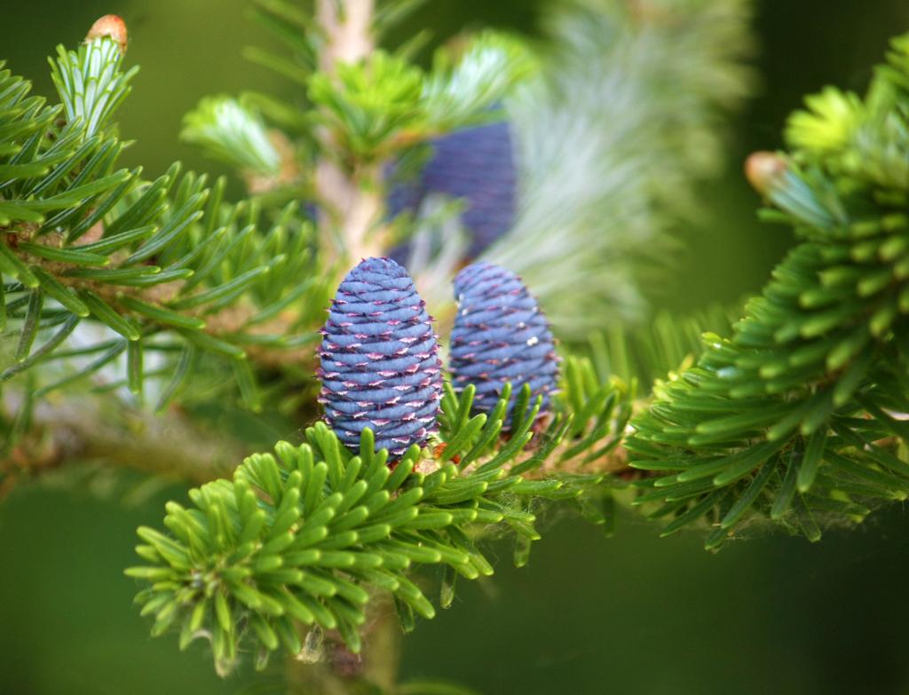 дерево пихта фото крупным планом милый, всегда