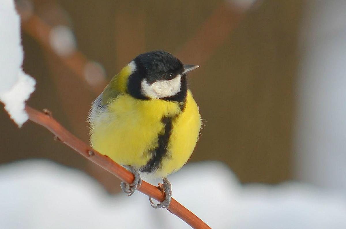 фото и картинки птицы синицы сих