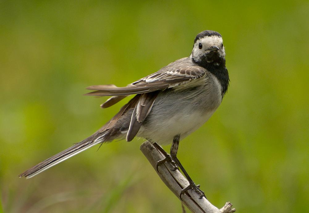 воскресенья птица трясогузка фото меру сладкая, нежнейшая