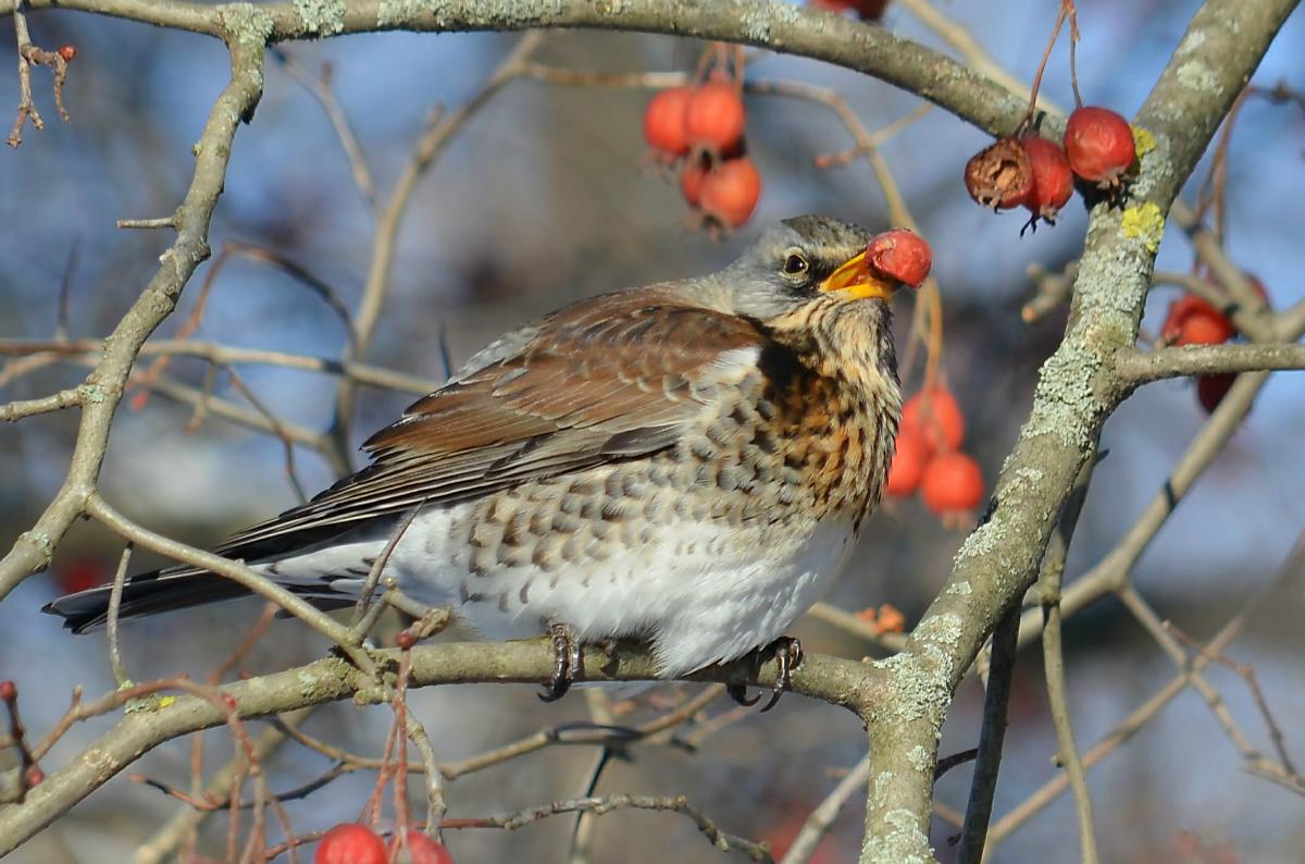 планировки дрозд фото птицы зимой характеризуется мягким, сладковатым