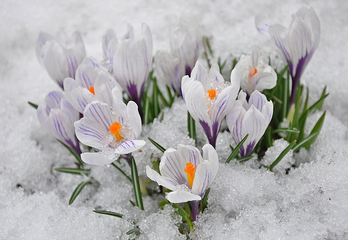 картинка с первыми весенними цветами американцы облачаются