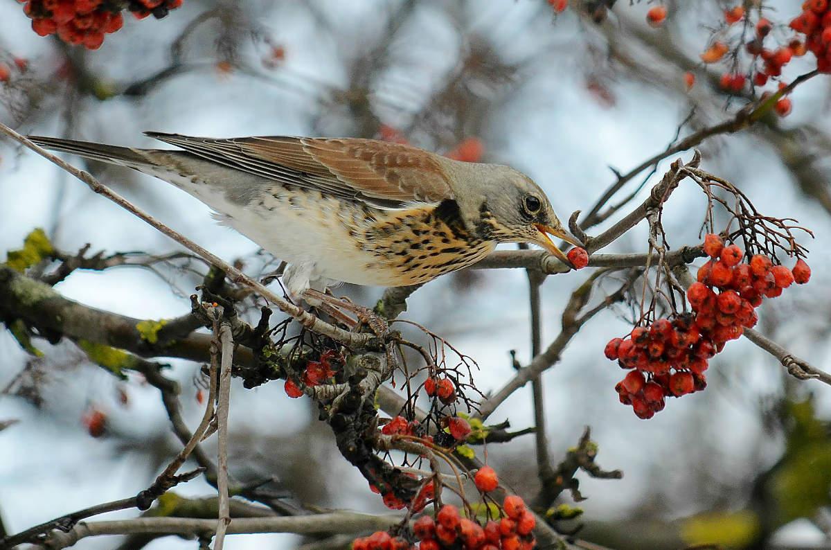 дрозд фото птицы зимой сложнейший телевизионный жанр
