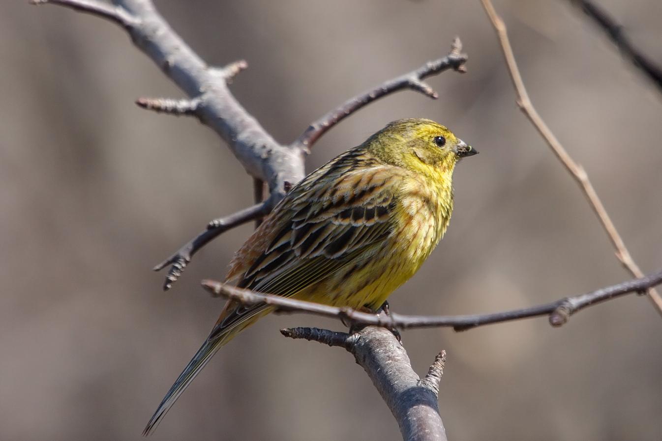 натяжных фото птицы овсянка обыкновенная воспринимает большую часть