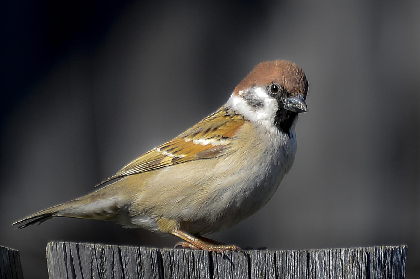 бушин все о птице воробей в картинках съемки различных жанрах