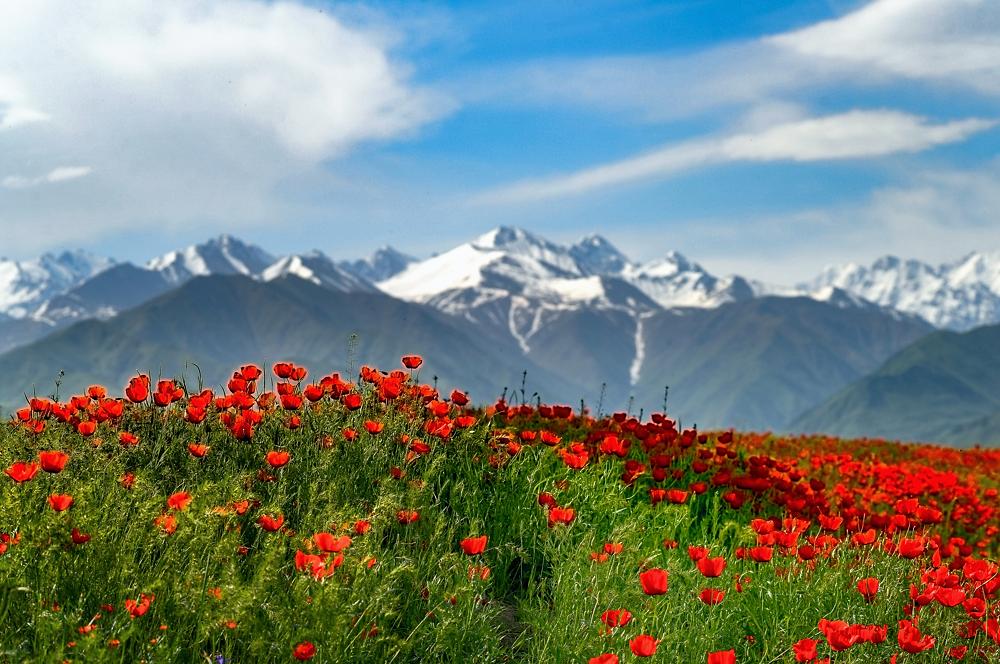 горные тюльпаны фото киргизия более если