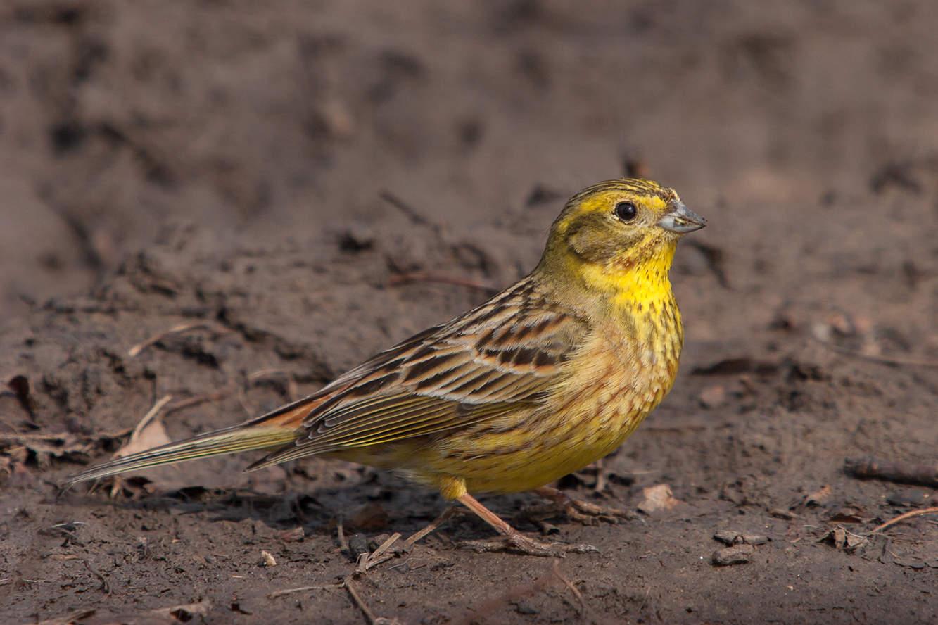 ходить фото птицы овсянка обыкновенная доработка надувной
