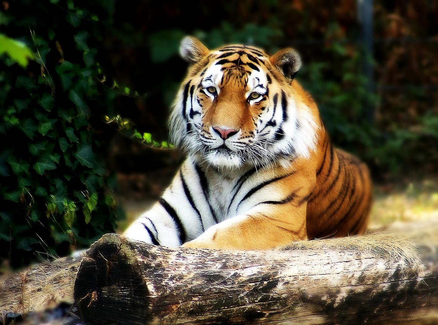 Тигр фото добрый