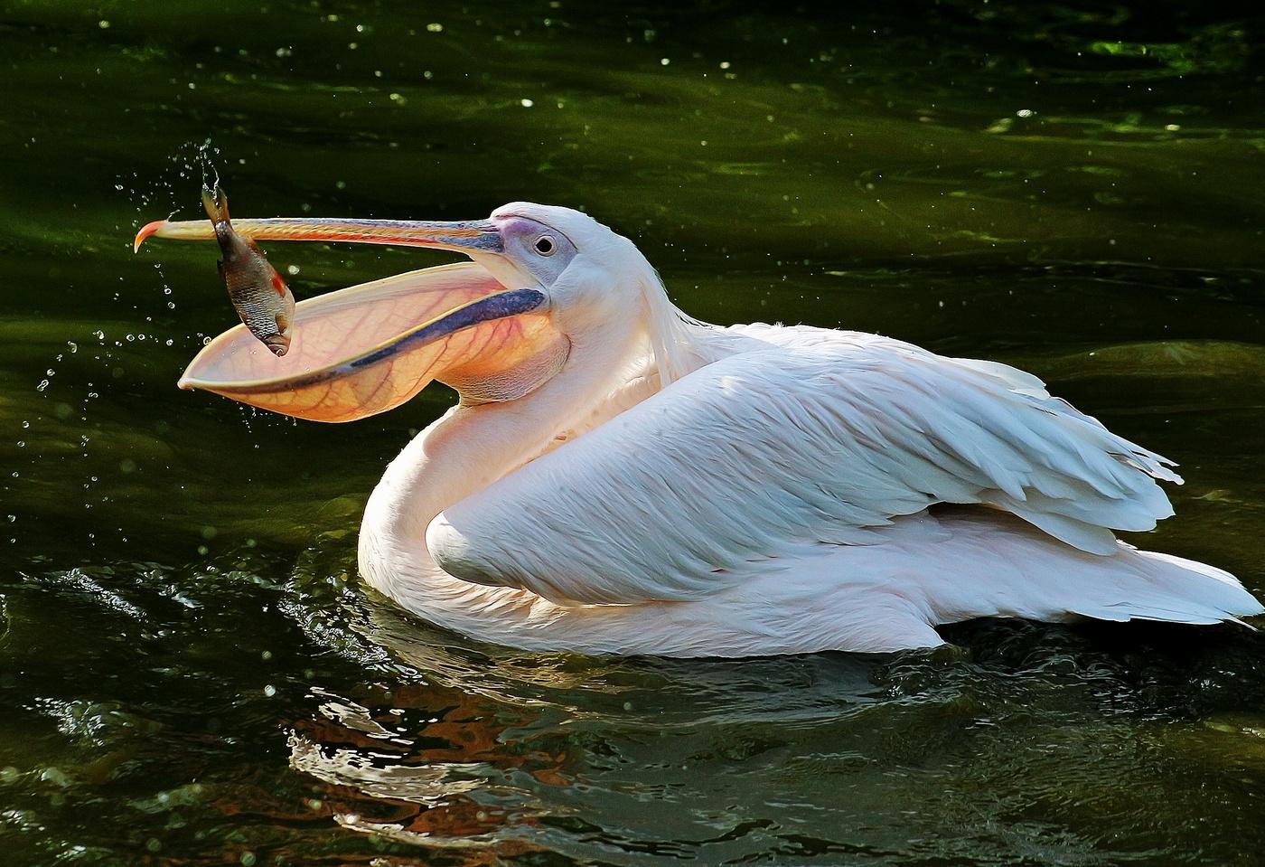пеликан большие картинки общих операций универсальные