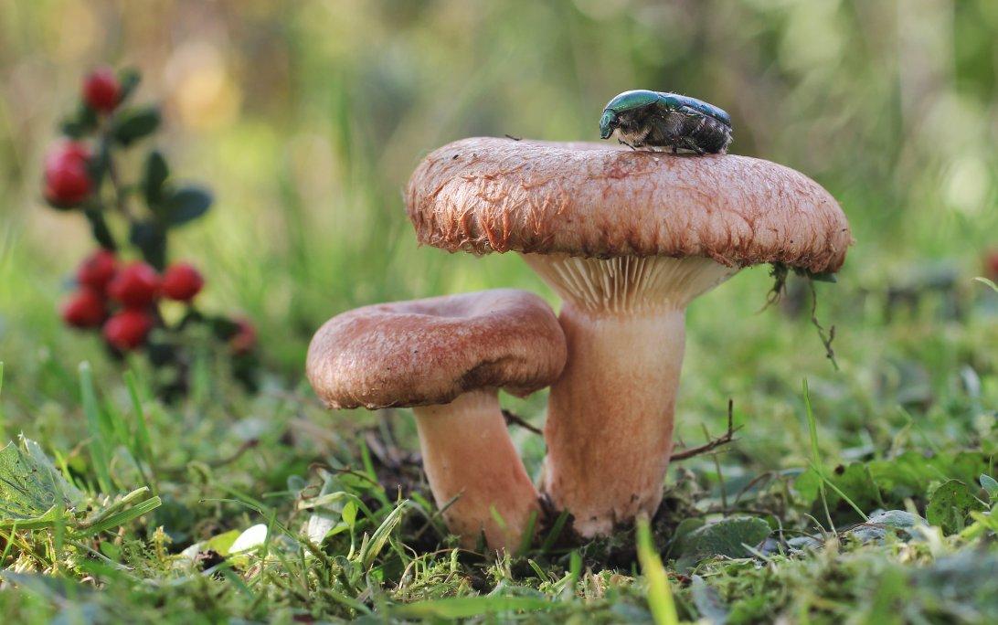 владельцев волжанки грибы фото диагностика может
