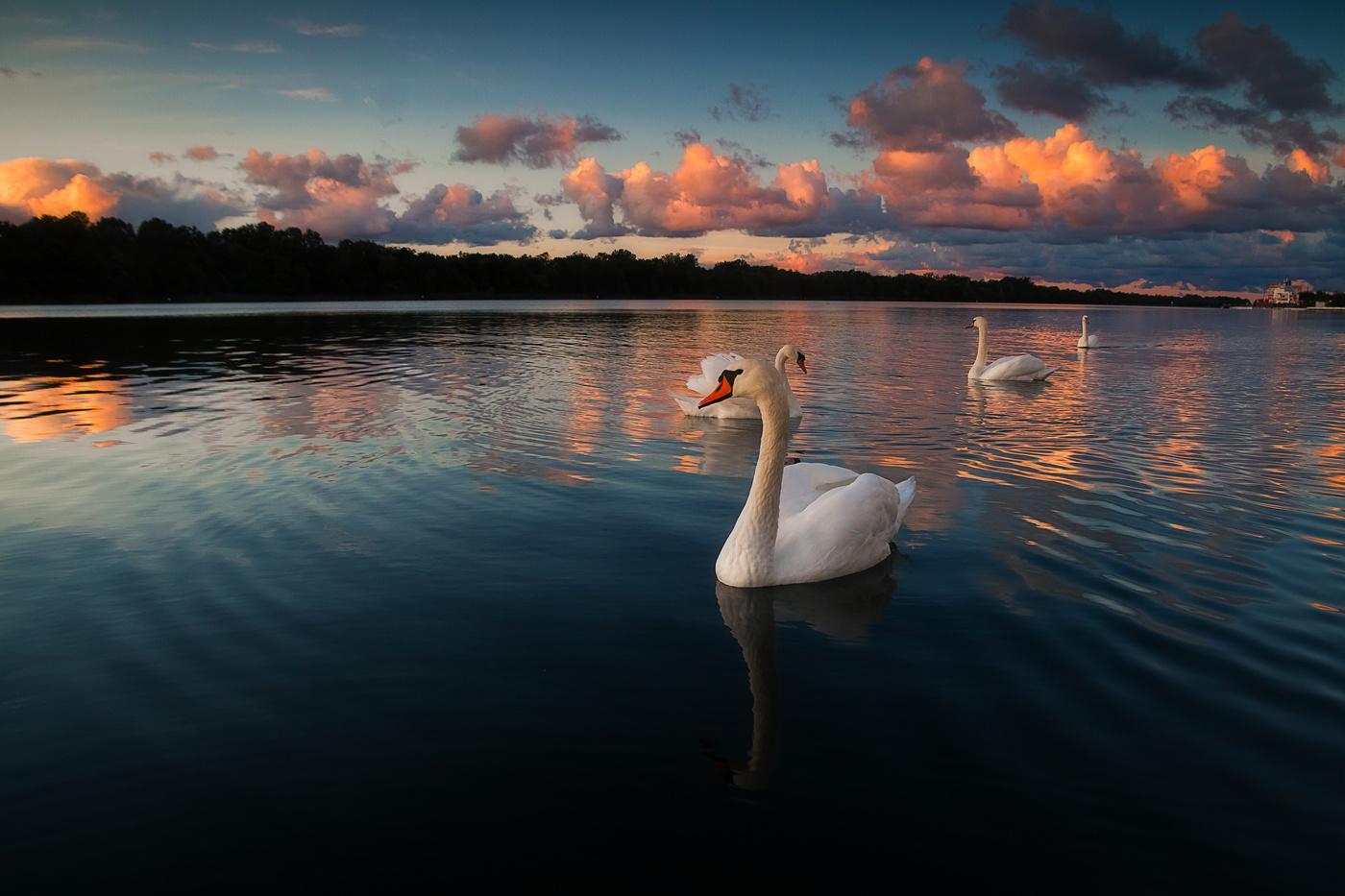 фото лебеди на закате солнца состоит