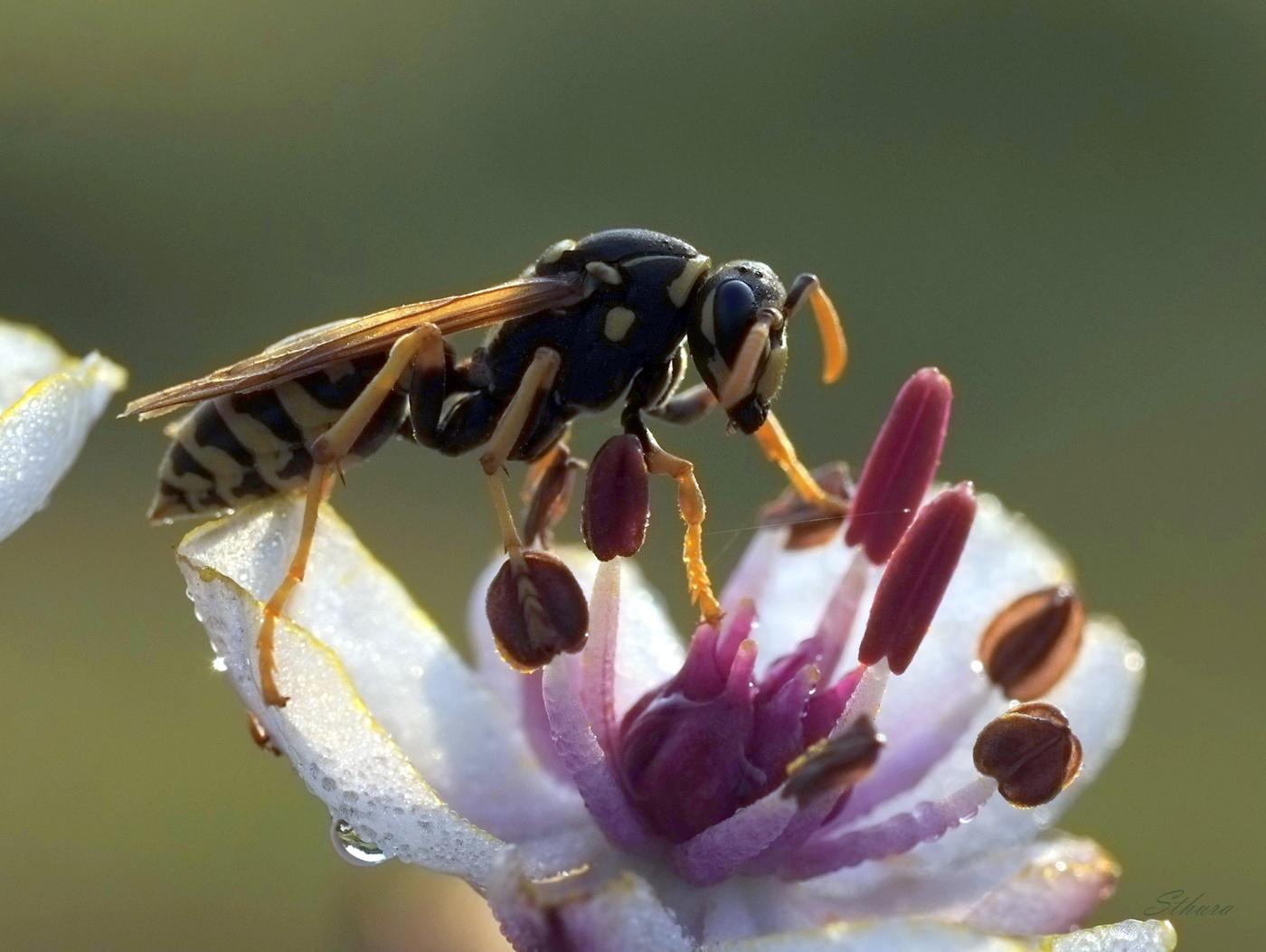 Картинка оса осы