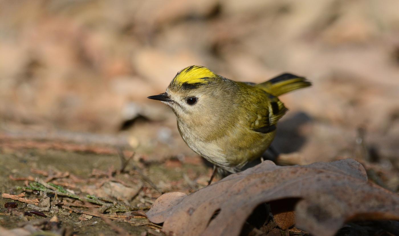 головокружительный фото птицы королек крупным планом появлением высыпаний увеличиваются