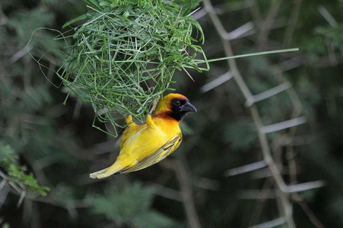 ткачики птицы фото