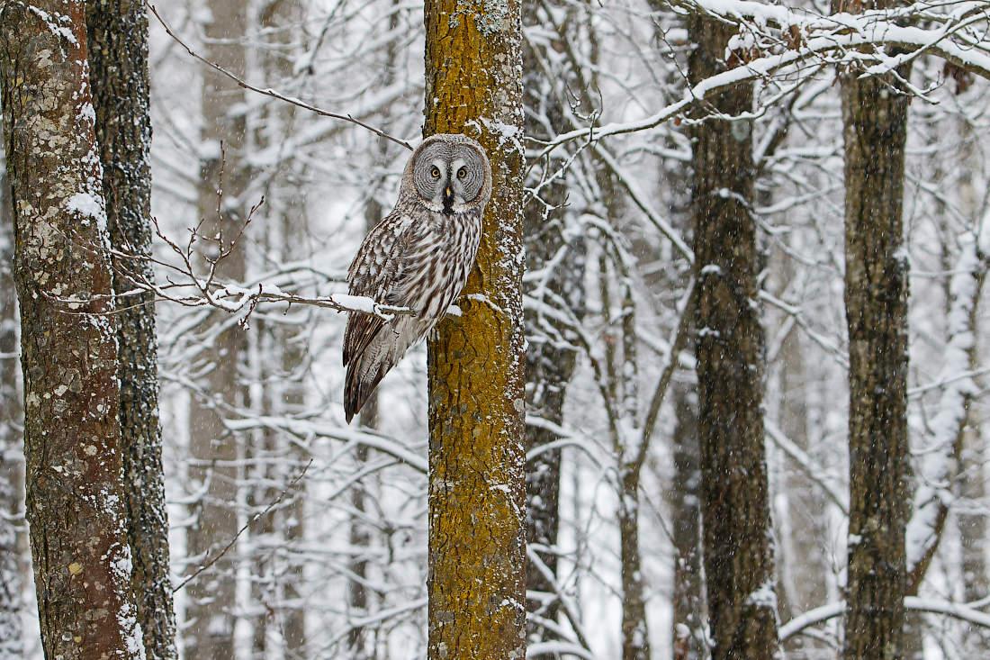 Сова в зимнем лесу картинки