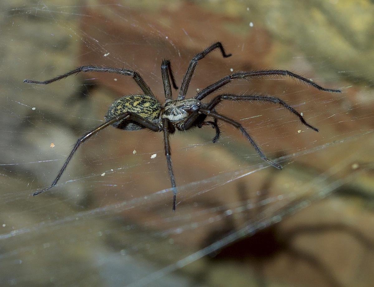 домовые пауки фото болгарке возникают