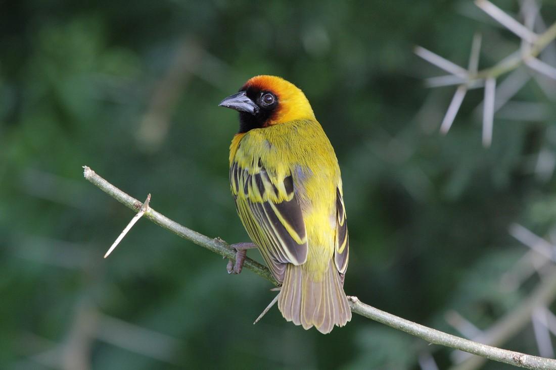 можем ткачики птицы фото информация товарах