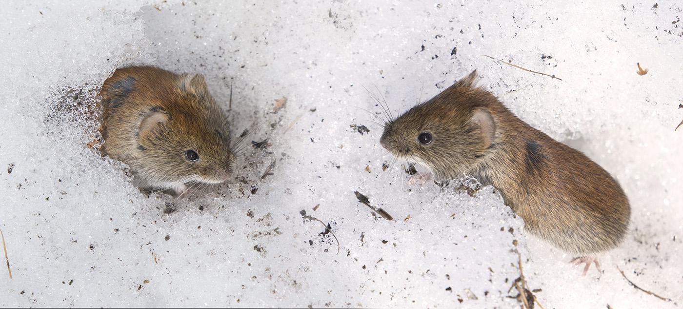 картинки мышей на снегу фото дни