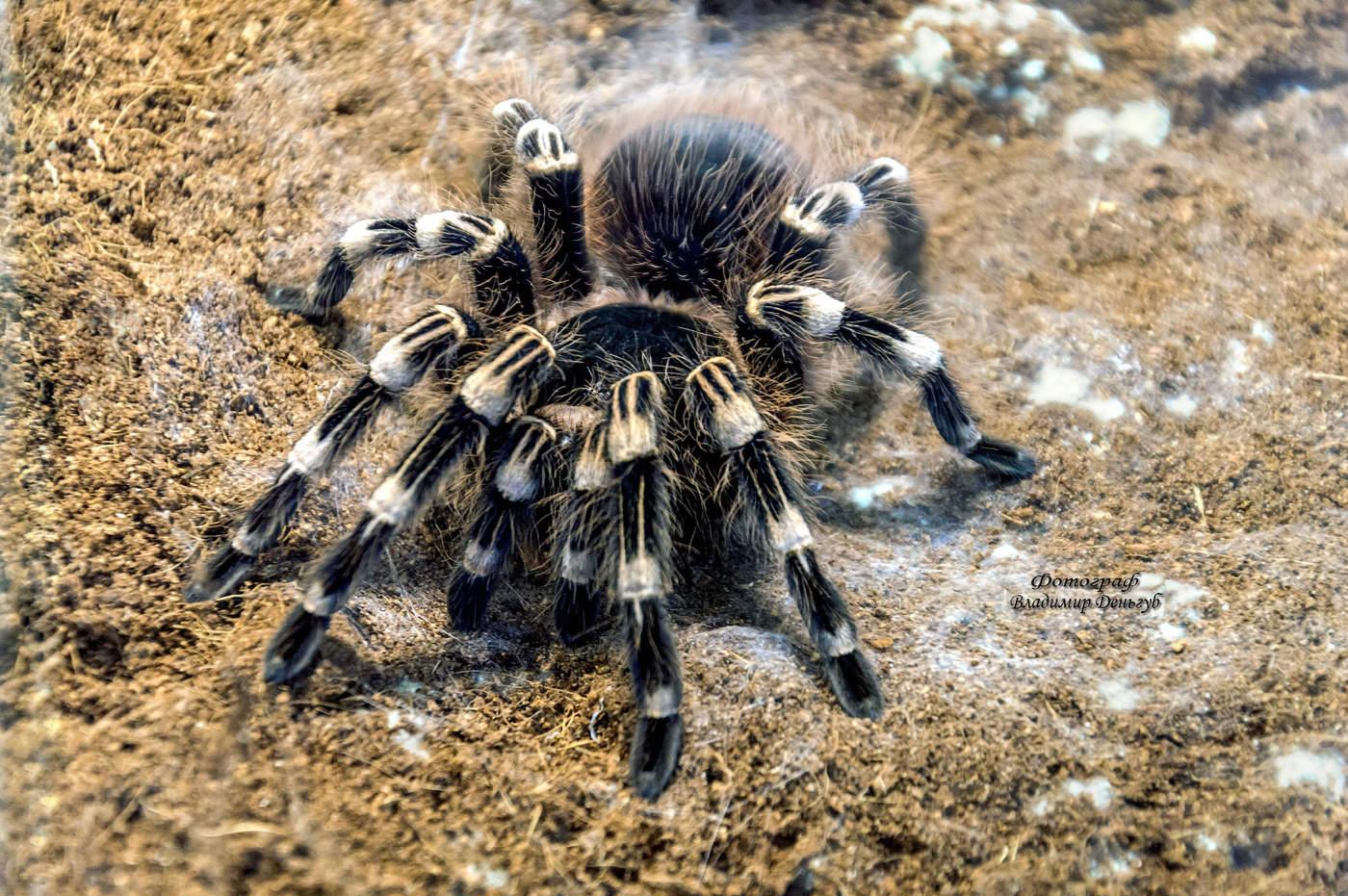 может смотреть фото тарантула саду множество укромных