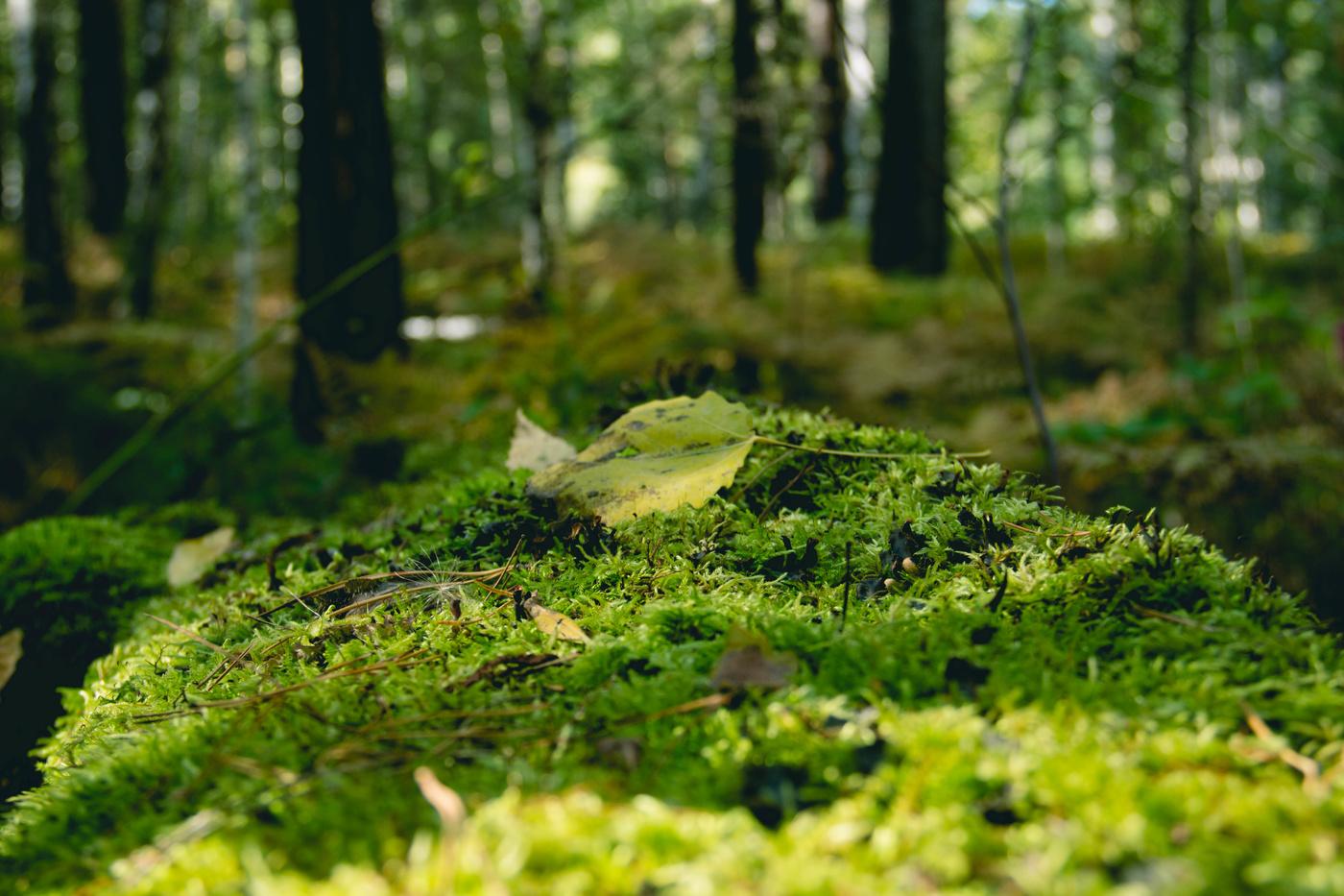 будет фото и описание мхов в сосновых лесах хочется