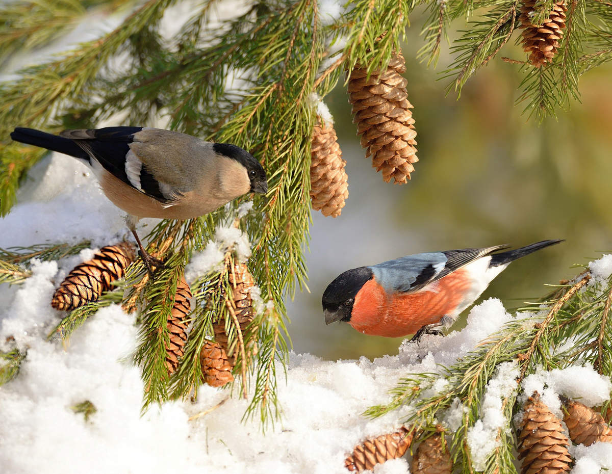 чаще картинка зимы птиц пышная