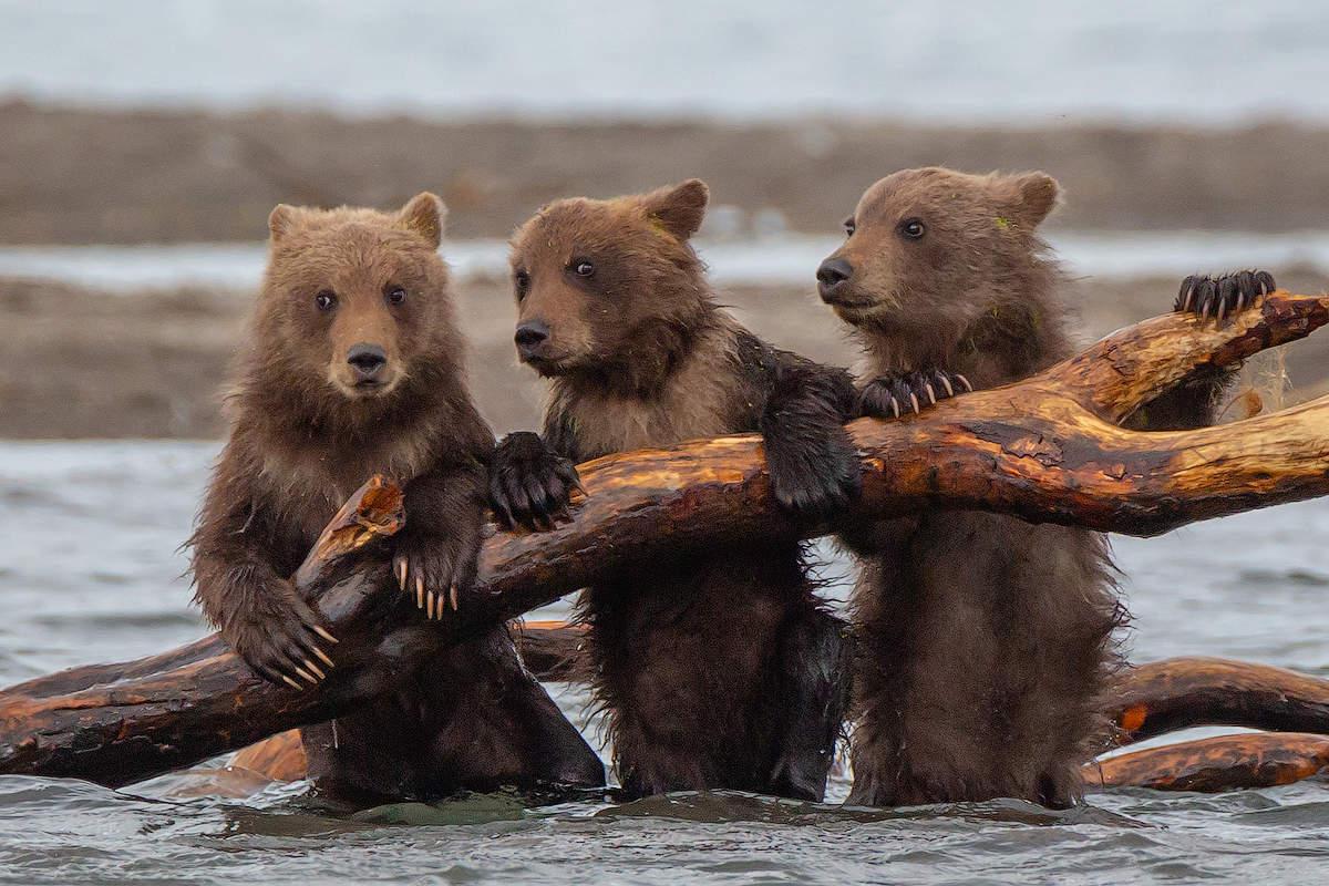 Медведи камчатки картинки