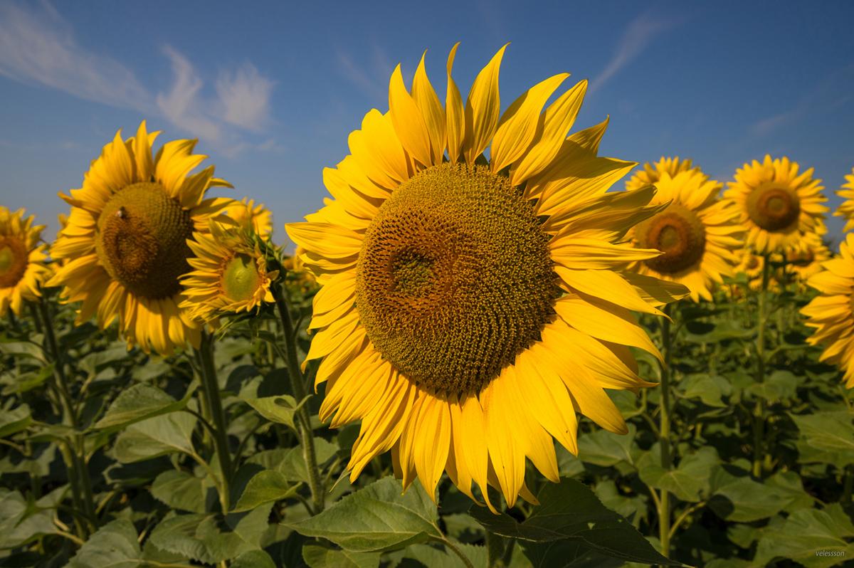 القيمة الغذائية لبذور دوار الشمس